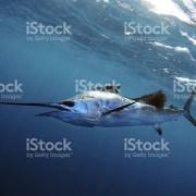 Anuncian torneo captura del pez vela