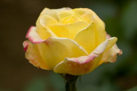 いわみざわ公園バラ園 バラ見ごろ