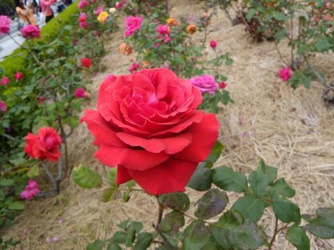 冠山総合公園 バラ見ごろ