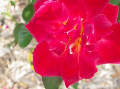 長居植物園 バラ見ごろ