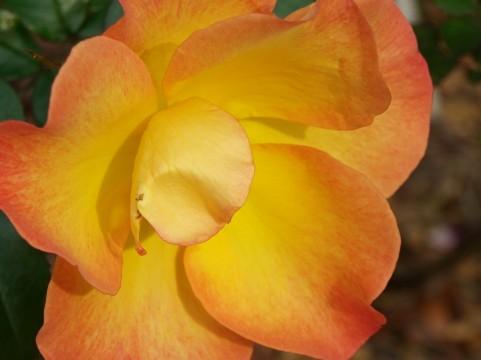 九十九島動植物園 森きらら バラ見ごろ