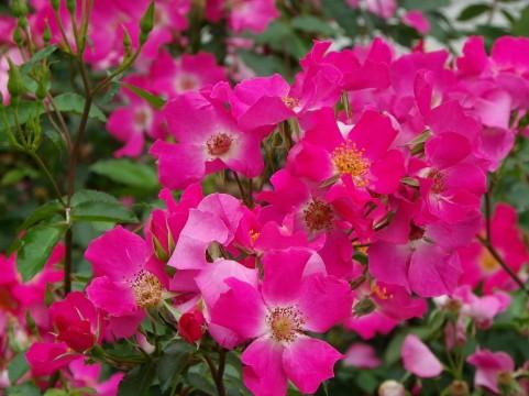 花菜ガーデン 薔薇の轍 バラ見ごろ