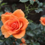 庄内緑地公園 バラ見ごろ