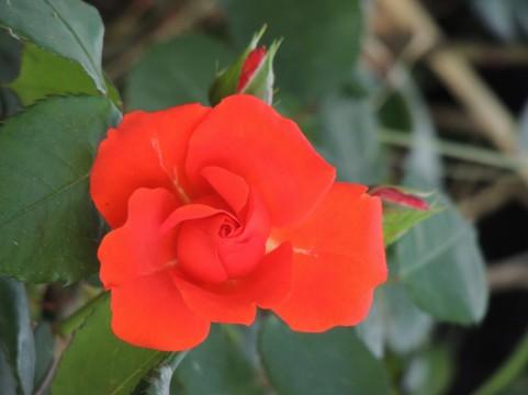 島田市ばらの丘公園 バラ見ごろ