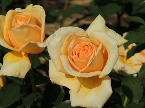 花巻温泉バラ園 バラ見ごろ