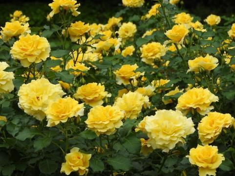 花フェスタ記念公園 バラ見ごろ