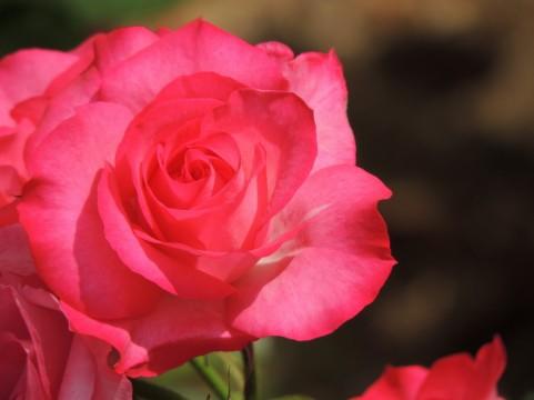 花博記念公園鶴見緑地 バラ見ごろ