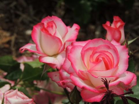松江イングリッシュガーデンのバラの見ごろやバラまつりとバラ園情報