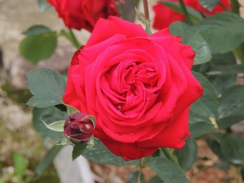 荒川のバラ バラ見ごろ