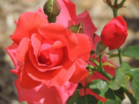 緑町公園のバラの見ごろやバラまつりとバラ園情報