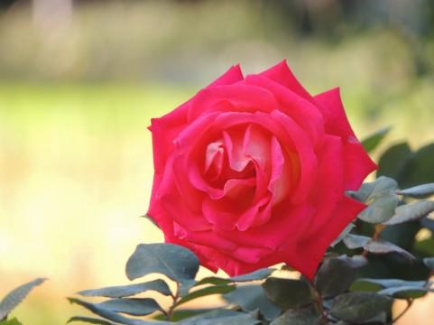 福島競馬場バラ園 バラ見ごろ