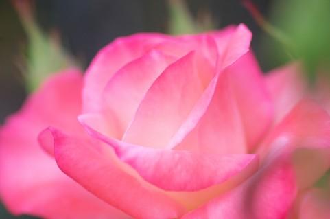 世羅高原花の森のバラの見ごろやバラまつりとバラ園情報