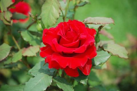 八戸公園 バラ見ごろ