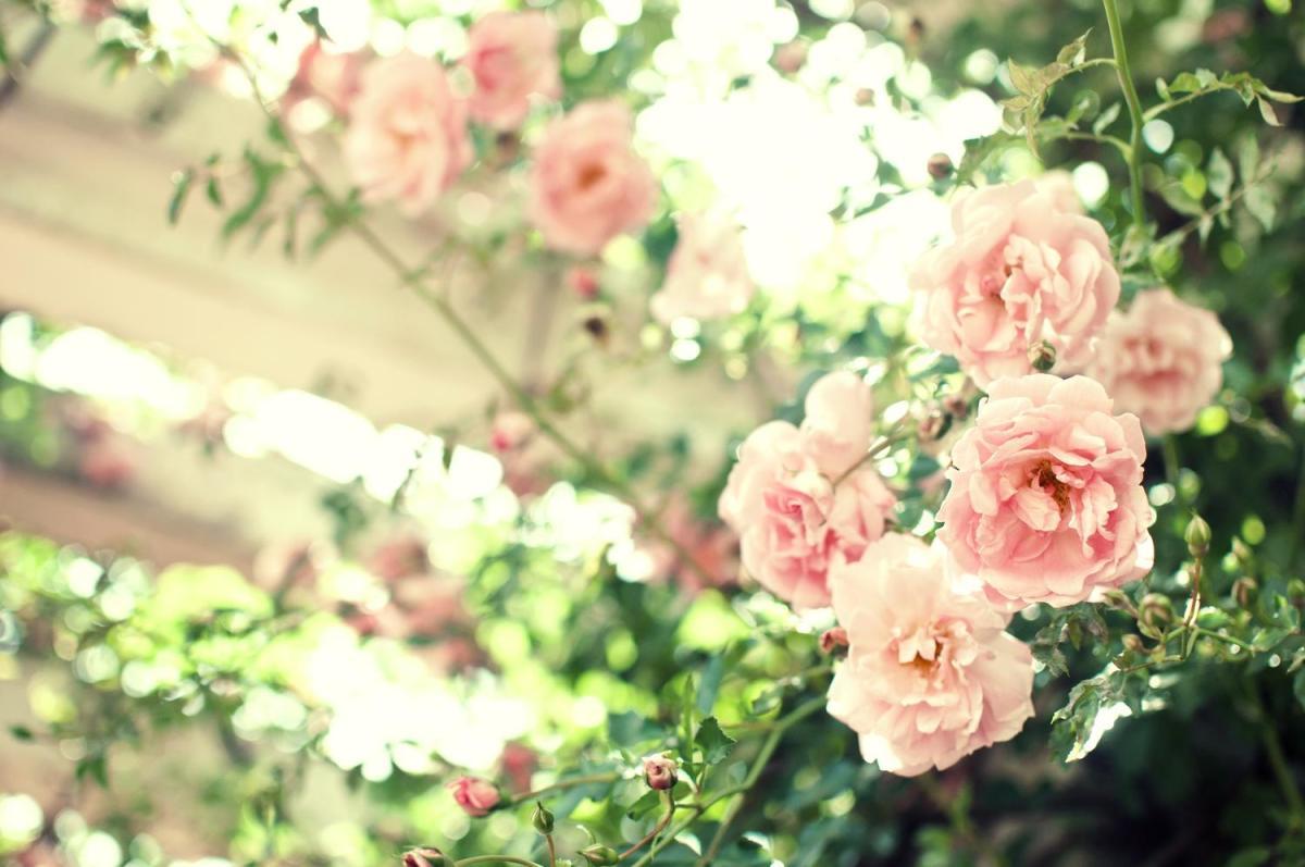 蓼科高原バラクライングリッシュガーデンのバラの見ごろやバラまつりとバラ園情報