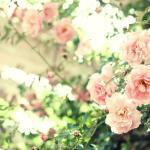 蓼科高原バラクライングリッシュガーデン バラ見ごろ