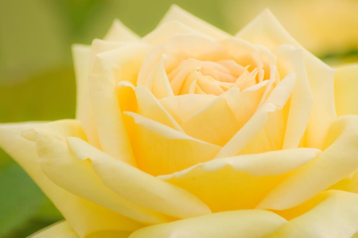 浜寺公園のバラの見ごろやバラまつりとバラ園情報