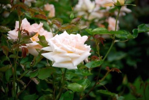 太陽ローズガーデン バラ見ごろ