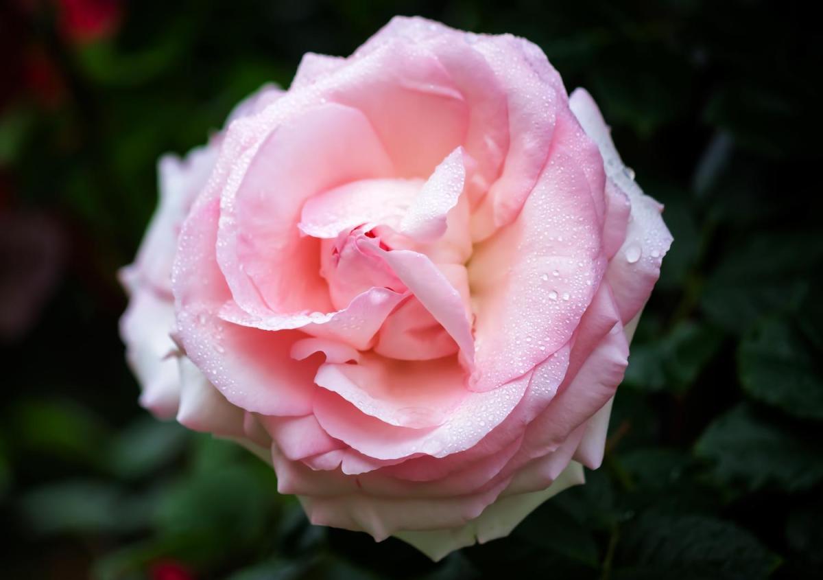 都筑中央公園のバラの見ごろやバラまつりとバラ園情報