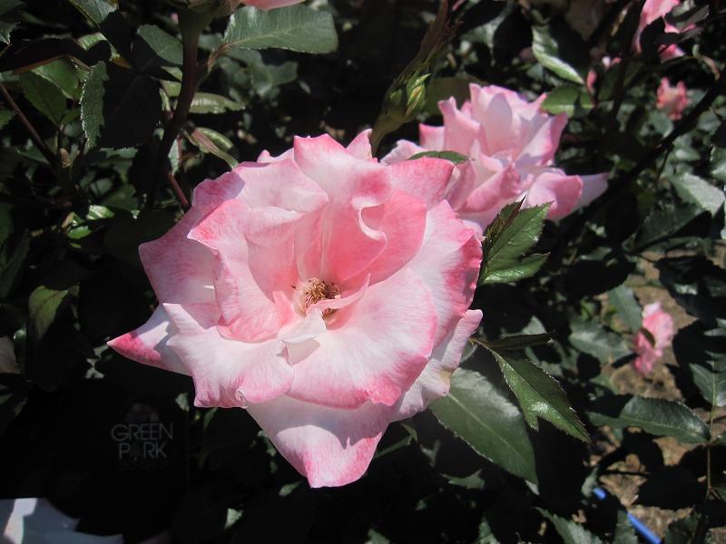 大通公園 バラ見ごろ