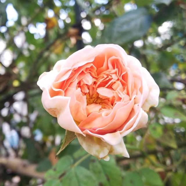 宮崎県総合運動公園 バラ見ごろ