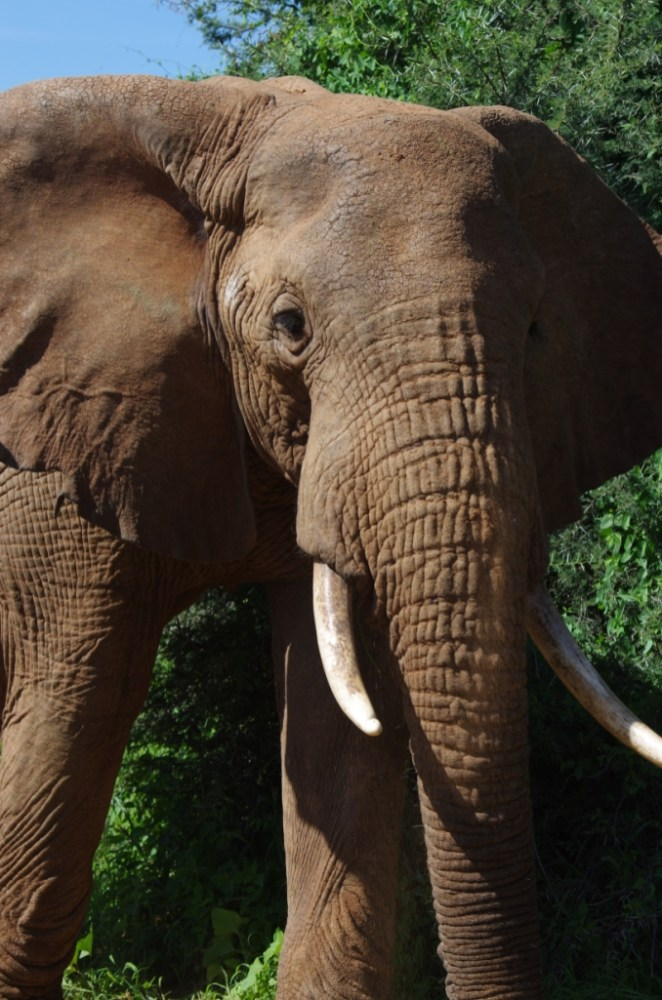 Close up of one of the elephants