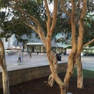 Eucalyptus di citta'