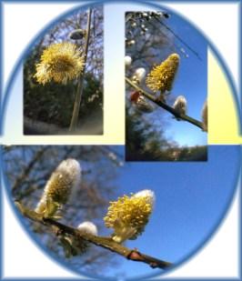 Wilgenkatjes in bloei
