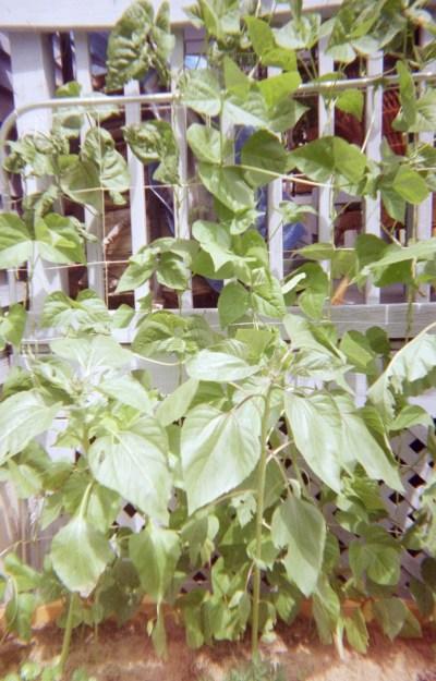 beanstalk deck
