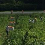 Pumpkin Harvest 2014
