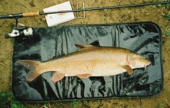 Loddon P.B. 11.08, August 2003. One of my favourite barbel photos, as the fish looks in superb condition and beautifully proportioned