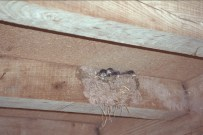 Swallow Chicks at Red Lion, Bredwardine