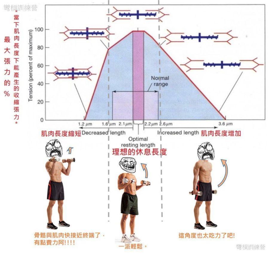 肌纖維的科學1: 肌肉收縮 – 彎槓訓練營: 肌力,速度與體能訓練