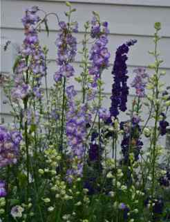 Singing the Blues Larkspur from Renee's Garden Seeds