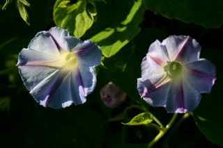 """Dawn Star"" Heirloom Morning Glory from Renee's Garden Seeds"