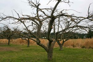 Pruned Apple Tree is better for wear (we hope)