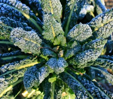 Lacinato Kale in winter - it survives everything (and so will you!)