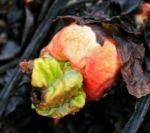 Rhubarb bud