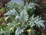 Young Cardoon