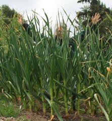 German Extra Hardy garlic plants