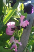 Sweet Peas from Renee's Garden Seeds (Barbolian Fields photo)
