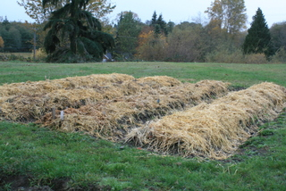 Mulched Garlic Bed