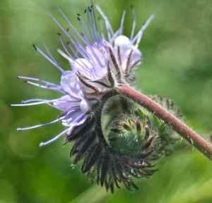 Phacelia - the ultimate honeybee plant
