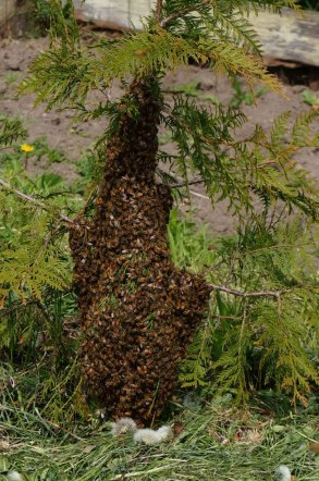 swarm in small cedar tree
