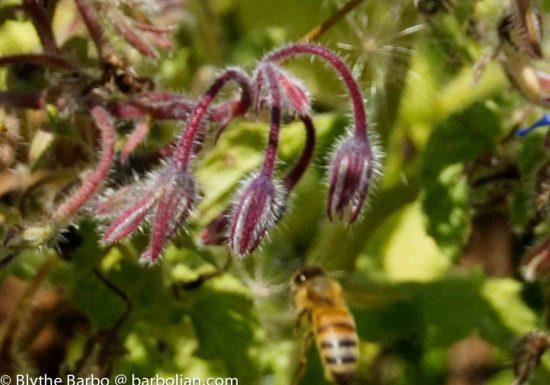Bee and Borage