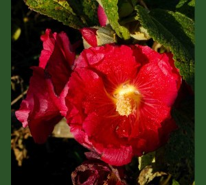 Red Hollyhock in November