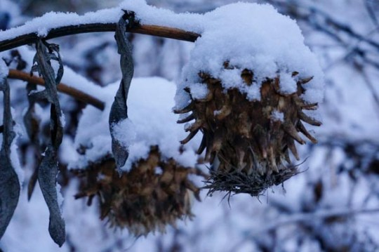 Snow on Cardoon