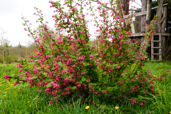 Red Flowering Currant shrub
