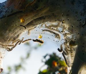 Inside a tent caterpillar nest
