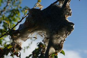 Large tent caterpillar nest