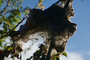 Large tent caterpillar nest